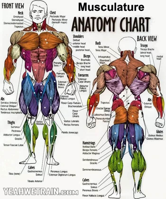 Musculature: Anatomy Chart - Best Fitness How To Get Plan Tips ...