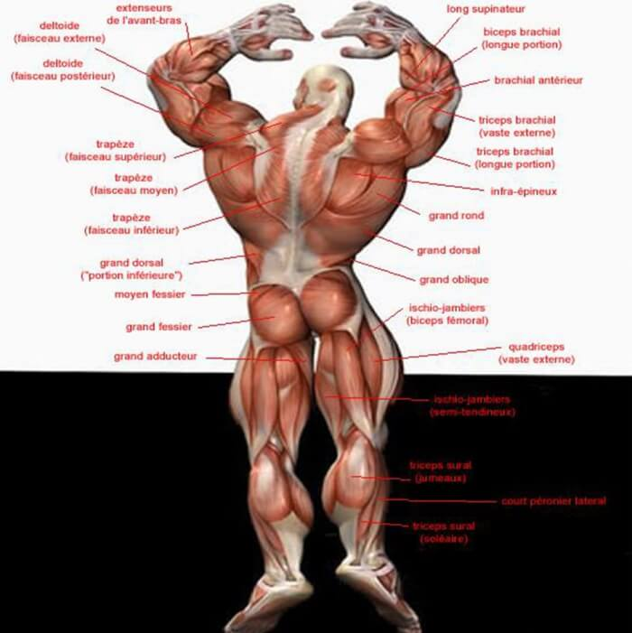 Back Body Muscle Chart Fitness Training Health Shoulder Legs