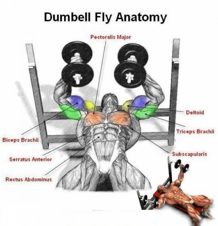 Dumbbell Fly Anatomy: Chest Exercises - Heavy Weight Bread Train ...