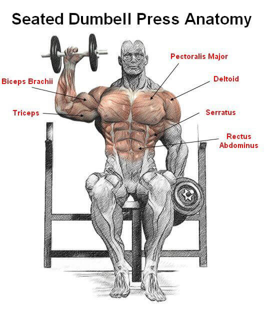 Seated Dumbbell Press Anatomy - Healthy Fitness Shouder Workout